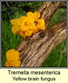 Tremella mesenterica, Yellow brain fungus