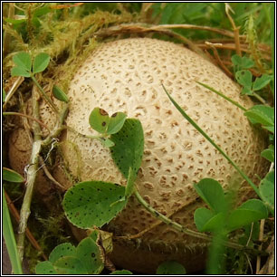Scleroderma citrinum, Common earthball