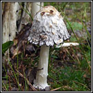 Coprinus comatus, Shaggy Ink Cap