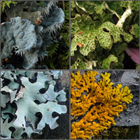 Foliose and Squamulose lichens