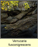 Verrucaria fusconigrescens