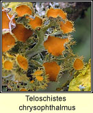 Teloschistes chrysophthalmus, Golden-eye lichen