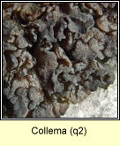 Collema