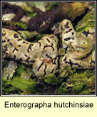 Enterographa hutchinsiae