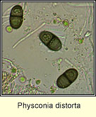 Physconia distorta, spores