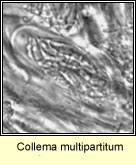 Collema multipartitum