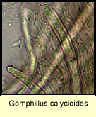 Gomphillus calycioides, micro photo