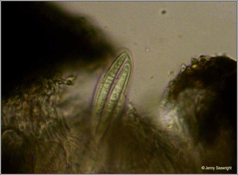 Opegrapha viridis, ascus and spores