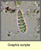 Graphis scripta, old spores, micro photo