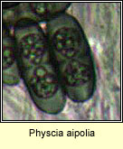 Physcia aipolia, spores