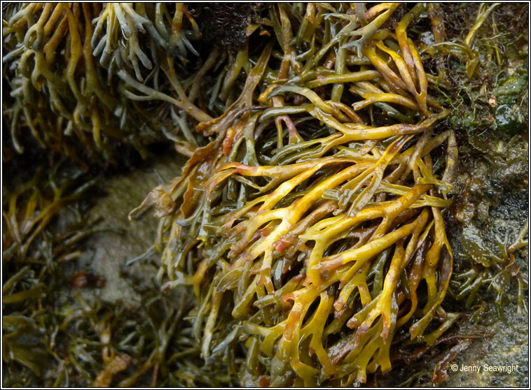 Pelvetia canaliculata, Channelled wrack